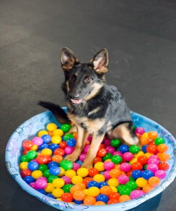 Picture of a German Shepard sitting in a baby pool full of balls from a ball pit